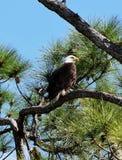 φαλακρός αετός στοκ εικόνα με δικαίωμα ελεύθερης χρήσης