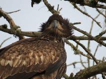 φαλακρός νεαρός αετών Στοκ εικόνα με δικαίωμα ελεύθερης χρήσης