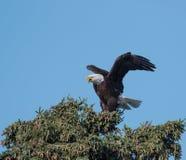 φαλακρό δέντρο αετών Στοκ Εικόνα