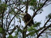 φαλακρό κυνήγι αετών Στοκ φωτογραφία με δικαίωμα ελεύθερης χρήσης