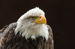 Φαλακρό να κοιτάξει επίμονα αετών Στοκ φωτογραφία με δικαίωμα ελεύθερης χρήσης