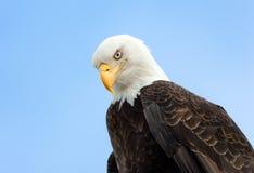 Φαλακρό πορτρέτο αετών, Αλάσκα Στοκ Φωτογραφία