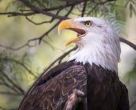 Φαλακρό πορτρέτο αετών - που κοιτάζει στη δευτερεύουσα λεπτομέρεια κινηματογραφήσεων σε πρώτο πλάνο Στοκ Εικόνα