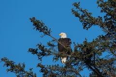 φαλακρό σκαρφαλωμένο αετός δέντρο Στοκ φωτογραφία με δικαίωμα ελεύθερης χρήσης