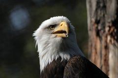 φαλακρό leucocephalus haliaeetus αετών στοκ φωτογραφία με δικαίωμα ελεύθερης χρήσης