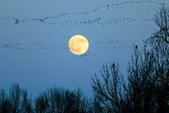 Φεγγάρι με το κοπάδι των χήνων στοκ εικόνες