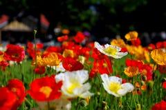Φεστιβάλ λουλουδιών σε Toowoomba Στοκ Φωτογραφίες