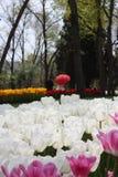 Φεστιβάλ τουλιπών, emirgan πάρκο Κωνσταντινούπολη Τουρκία στοκ εικόνες
