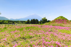 Φεστιβάλ Shibazakura με τον τομέα του ρόδινου βρύου Sakura ή του CH Στοκ εικόνα με δικαίωμα ελεύθερης χρήσης