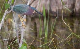 Φευγαλέο αρπακτικό ζώο Στοκ εικόνες με δικαίωμα ελεύθερης χρήσης