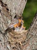φθάνει γεύμα μωρών robins Στοκ Εικόνες