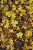 Φθινοπωρινά πεσμένα σφένδαμνος φύλλα στο δασικό χώμα Στοκ Εικόνες