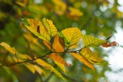 Φθινοπωρινά φύλλα οξιών στο δάσος στοκ φωτογραφία