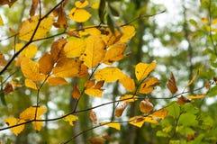 Φθινοπωρινά φύλλα οξιών στο δάσος στοκ εικόνες