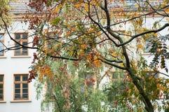 Φθινοπωρινά φύλλα στο χρυσό δέντρο βροχής - Koelreuteria Π στοκ εικόνες