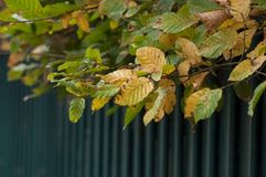 φθινοπωρινά φύλλα hornbeam στο φράκτη στοκ φωτογραφία