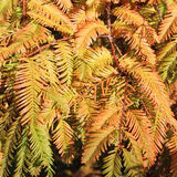 Φθινοπωρινοί κλάδοι της αυγής Redwood, Metasequoia Στοκ Φωτογραφίες