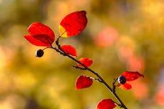 Φθινοπωρινός κλάδος aronia Στοκ φωτογραφίες με δικαίωμα ελεύθερης χρήσης