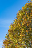 Φθινοπωρινό δέντρο Στοκ Εικόνα