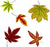 Φθινοπωρινό σύνολο ζωηρόχρωμων φύλλων σφενδάμου ελεύθερη απεικόνιση δικαιώματος