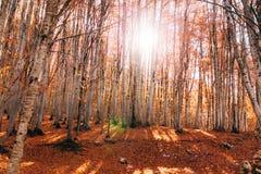 Φθινοπωρινό τοπίο με ένα άλσος σημύδων στοκ φωτογραφία