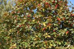 Φθινοπωρινό φύλλωμα και κόκκινα μούρα του whitebeam Στοκ Εικόνα