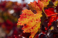 Φθινοπωρινό φύλλο αμπέλων διαφανές σε Backlight Στοκ Εικόνα