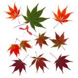 Φθινοπώρου πτώση φύλλων σφενδάμου που κόβεται ιαπωνική outs Στοκ Εικόνα