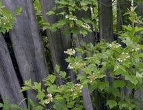 Φθινοπώρου το ξύλινο φρακτών λαχανικό θερινών δέντρων αμπέλων εγκαταστάσεων σταφυλιών αύξησης αύξησης κρασιού μαρουλιού οργανικό  στοκ εικόνα με δικαίωμα ελεύθερης χρήσης
