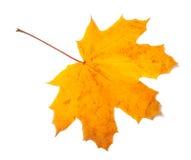 Φθινοπώρου φύλλο σφενδάμου που απομονώνεται κίτρινο Στοκ Εικόνες