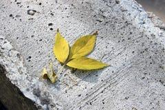 Φθινόπωρο - ένα κίτρινο φύλλο σφενδάμου σε ένα γκρίζο πορώδες σκυρόδεμα Στοκ Φωτογραφίες