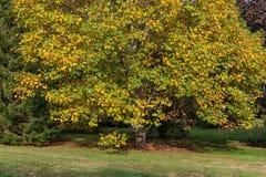 Φθινόπωρο, δέντρο πτώσης Στοκ φωτογραφία με δικαίωμα ελεύθερης χρήσης