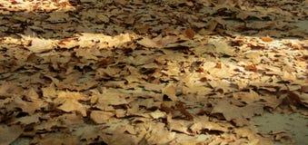 φθινόπωρο ζωηρόχρωμο Φύλλα Platanus Στοκ φωτογραφία με δικαίωμα ελεύθερης χρήσης