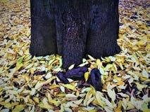 Φθινόπωρο, κίτρινοι φύλλα και κορμός στοκ εικόνα