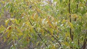 Φθινόπωρο και οι πρώτες πτώσεις χιονιού στα φύλλα στο δέντρο φιλμ μικρού μήκους