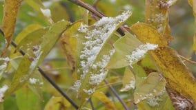 Φθινόπωρο και οι πρώτες πτώσεις χιονιού στα φύλλα στο δέντρο απόθεμα βίντεο