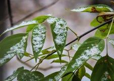 Φθινόπωρο και οι πρώτες πτώσεις χιονιού στα φύλλα στο δέντρο στοκ εικόνες