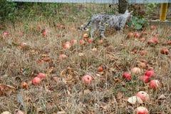 Φθινόπωρο Κόκκινη πτώση μήλων στο έδαφος Στοκ φωτογραφίες με δικαίωμα ελεύθερης χρήσης