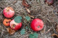 Φθινόπωρο Κόκκινη πτώση μήλων στο έδαφος Στοκ Εικόνες