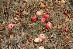 Φθινόπωρο Κόκκινη πτώση μήλων στο έδαφος Στοκ εικόνα με δικαίωμα ελεύθερης χρήσης