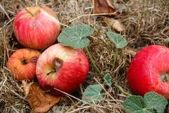 Φθινόπωρο Κόκκινη πτώση μήλων στο έδαφος Στοκ εικόνες με δικαίωμα ελεύθερης χρήσης