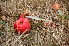 Φθινόπωρο Κόκκινη πτώση μήλων στο έδαφος Στοκ φωτογραφία με δικαίωμα ελεύθερης χρήσης