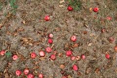 Φθινόπωρο Κόκκινη πτώση μήλων στο έδαφος Στοκ Φωτογραφία