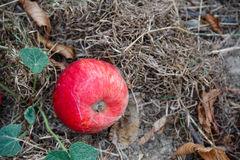Φθινόπωρο Κόκκινη πτώση μήλων στο έδαφος Στοκ Εικόνα