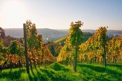 Φθινόπωρο πτώσης εποχών κρασιού σειρών αμπελώνων υπαίθρια πρωινό μεταβαλλόμενο στοκ φωτογραφίες