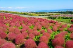 Φθινόπωρο στο πάρκο παραλιών Hitachi στοκ φωτογραφίες με δικαίωμα ελεύθερης χρήσης