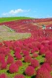 Φθινόπωρο στο πάρκο παραλιών Hitachi στοκ φωτογραφία