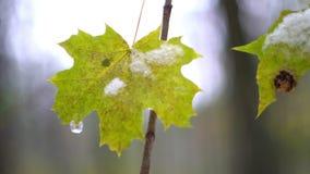 Φθινόπωρο Τελευταία κίτρινα φύλλα σε έναν κλάδο δέντρων απόθεμα βίντεο