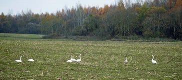 Φθινόπωρο τον Οκτώβριο Τα χρώματα της φύσης Κοίτη πλημμυρών ποταμών και κοπάδι κύκνων στον τομέα Στοκ Εικόνες