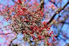Φθινόπωρο του Rowan Στοκ Εικόνες